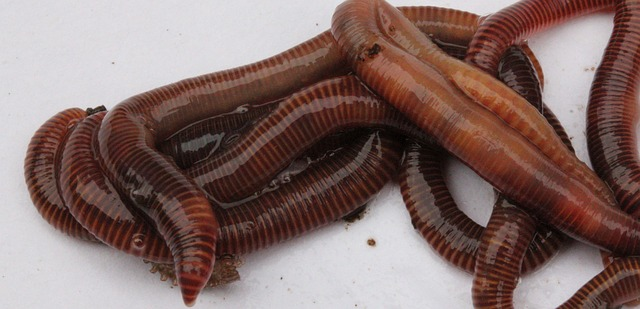 Photo of a group of Red Wiggler composting worms